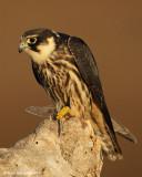eurasian hobby falco subbuteo áæ òöéí