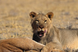 Lion with prey