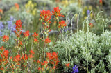 Indian Paint Brush and Sage Brush