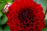 Swan Island Dahlias_0087 FTW.jpg