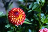 Swan Island Dahlias_0147 FTW.jpg