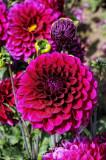 Swan Island Dahlias_0119 FTW.jpg