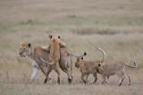 Mara lions.