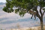 Leopardo.*