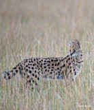 Serval.*
