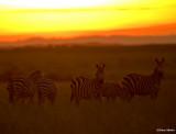 Zebra herd.
