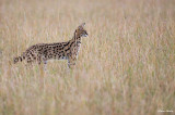 Serval , Sideway