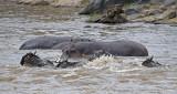 Hippo atack