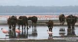 Pink buffalos