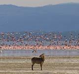 Waterbuck and pink
