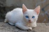 Blue Eyed Gaeta Kitten