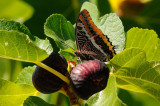 Swallowtail  Butterfly on a Fig