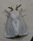 Hodges#8140 * Fall Webworm Moth * Hyphantria cunea
