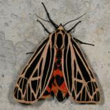 Hodges#8197 * Virgin Tiger Moth * Grammia virgo