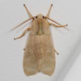 Hodges#8203 * Banded Tussock Moth * Halysidota tessellaris