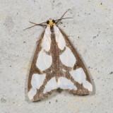 Hodges#8111 * Leconte's Haploa Moth * Haploa lecontei