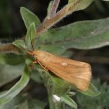 Hodges#8125 * Virbia fragilis
