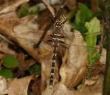 Belted & River Cruisers : Macromiidae