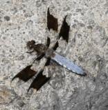 Skimmers : Libellulidae