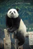 chiang_mai_pandas
