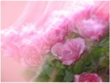 roses of Egypt