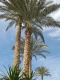 date palm - dattier