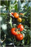 German sweet tomatoes