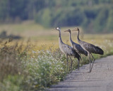 Common Crane alerted by a distant eagle!