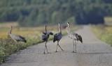 Common Crane migrating down the road apiece..