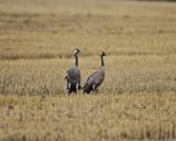 Common Crane resting