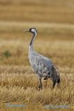 Common Crane/Trana/Juv.