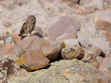 Steenuil; Little owl