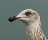 Geelpootmeeuw; Yellow-Legged Gull