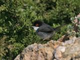 Kleine Zwartkop; Mediterranean Warbler