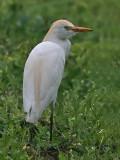 Koereiger; Cattle Egret