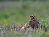 Rode Patrijs; Red-legged Partridge