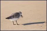 _MG_0244 sanderling wf.jpg
