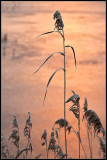 _ADR2225 grasses cwf.jpg