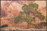 _ADR6795 canyon wall tree wf.jpg