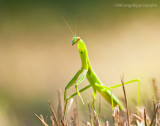 _ADR1031 praying mantis 11x14 wf.jpg