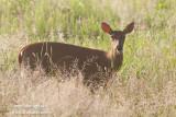 _ADR9546 deer w.jpg
