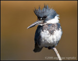 _MG_5298 kingfisher 14x11 wf.jpg