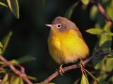 warbler-nashville9243.jpg