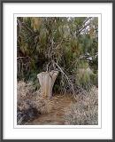 Desert Smoke Tree
