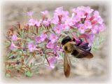 907Bee on Butterfly Bush