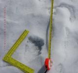 Beaver foot print 4.5 inches, 7 long