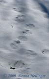 Beaver track with otter prints inside
