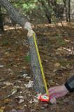 Recent Beaver chew on swamp white oak