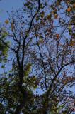 Leaves of girdled tupelo