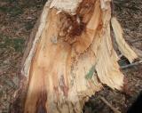 Fox.scat.treesplit.0118.jpg